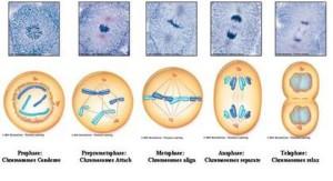 hair cell division